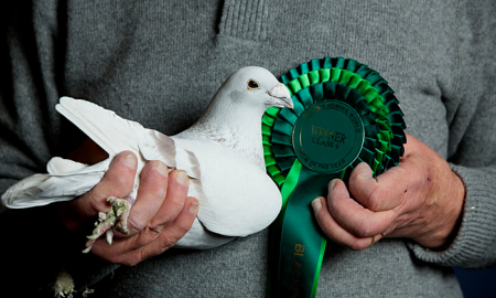 Pigeon fanciers take on RSPB over killer hawks